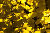 Ginkgo Leaves in Fall