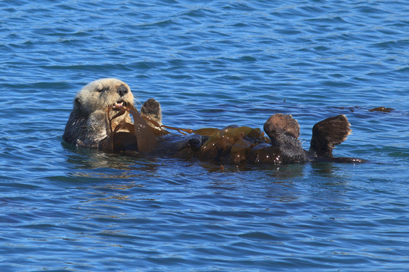 Sea Otter Eating Kelp